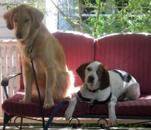 Honey the Golden Retriever tells foster dog Cherie how to find her forever home.