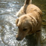 Honey the Golden Retriever tells me she doesn't want to swim in Fall Creek.