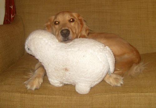 Honey the Golden Retriever rests on her stuffed lamb.