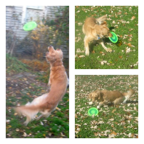 Honey the Golden Retriever tries to catch the Dogobie flying disc.