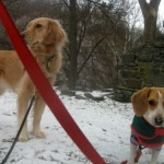 Honey the golden retriever and Ginny the foster dog look to make trouble.