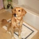 Honey the golden retriever waits for her bath.