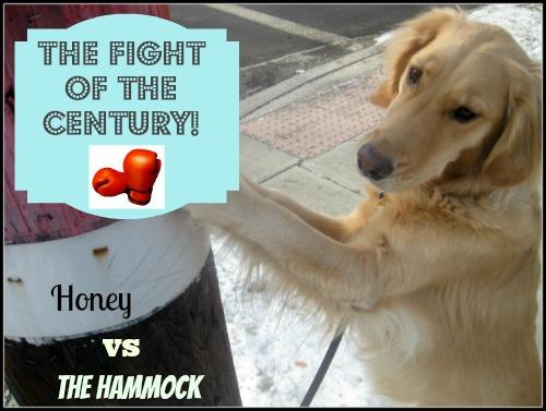 Honey the boxing golden retriever takes on The Hammock.