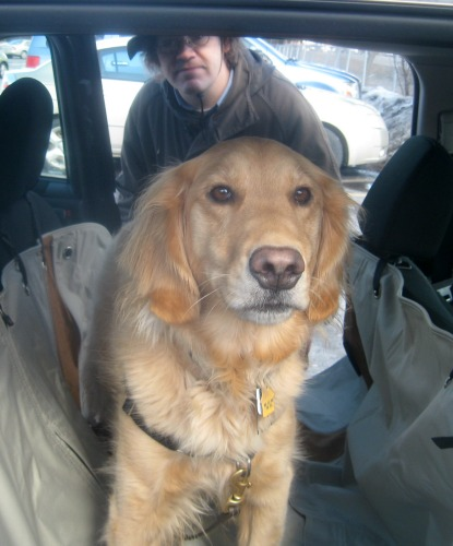 Honey the golden retriever in the car.