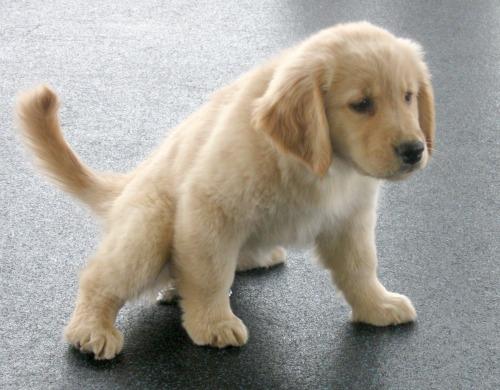 Honey the golden retriever puppy pees on the floor.