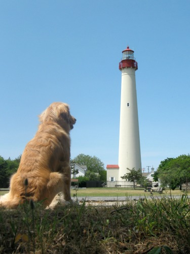 Honey the golden retriever looks at Cape May Lighthouse.