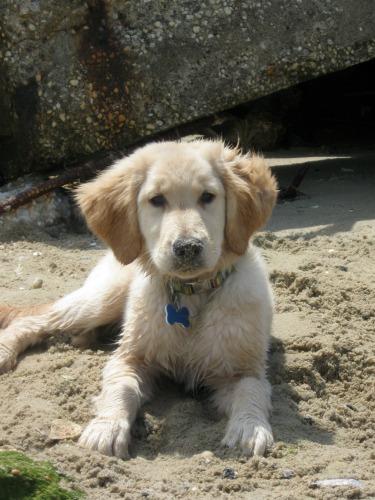 Honey is a golden retriever puppy on the beach.