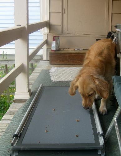 Honey the golden retriever avoids stepping on a dog ramp.