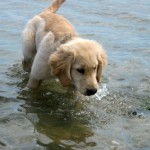 Honey the golden retriever puppy wades in the water.