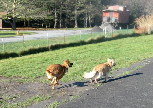 Honey the golden retriever plays chase at the dog park.