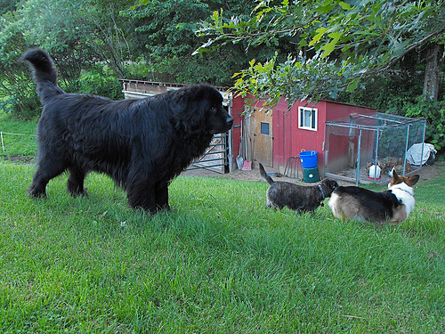 A newfoundland and friends.
