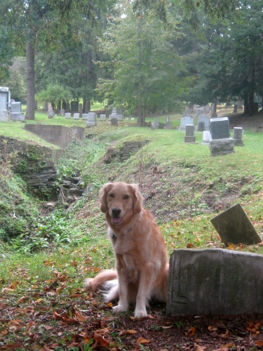 Honey the golden retriever in the cemetery.