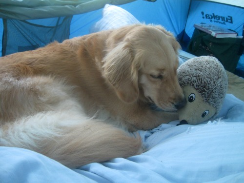 Honey the golden retriever plays with her toy.