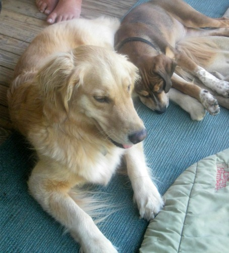 Honey the golden retriever relaxes with Oliver the foster puppy.