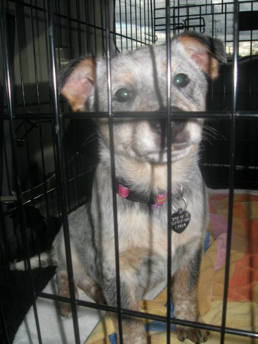 Foster puppy sits in her crate in the car.