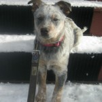 Zoe the foster puppy sits in the snow.