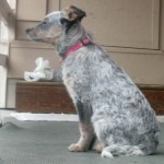 Zoe the Australian cattle dog puppy on the porch.