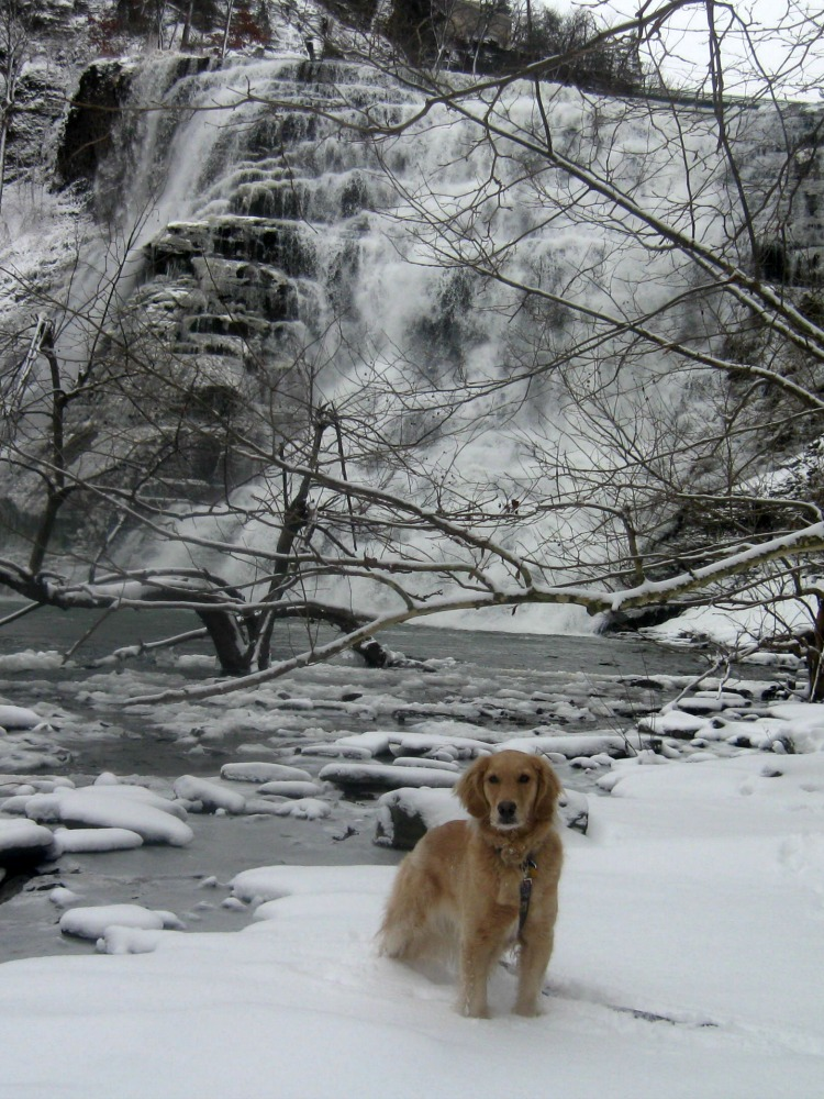 Honey the golden retriever at Ithaca Falls.