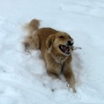 Honey the golden retriever chews a stick in the snow.