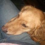 Honey the golden retriever puts her head on my leg.
