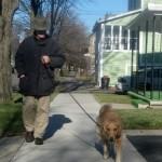 Honey the golden retriever walks on a leash.