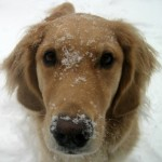 Honey the golden retriever has snow on her face.