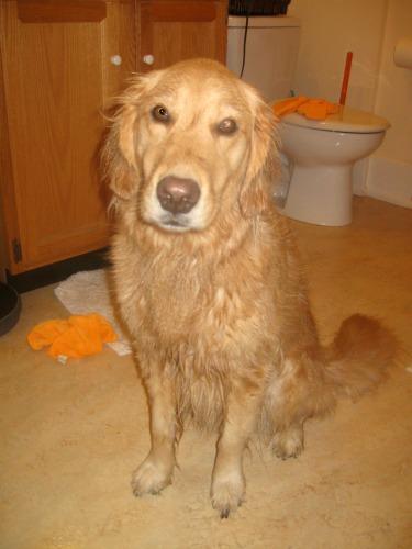 Honey the golden retriever after a bath.