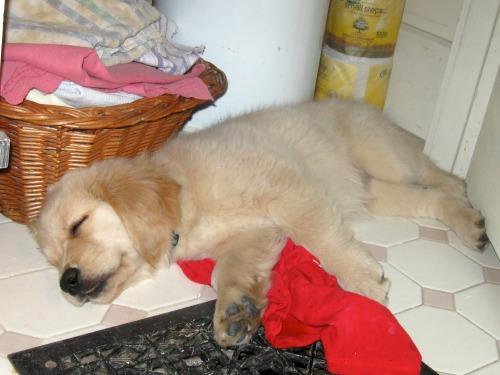 Honey the golden retriever puppy takes a nap in the closet.