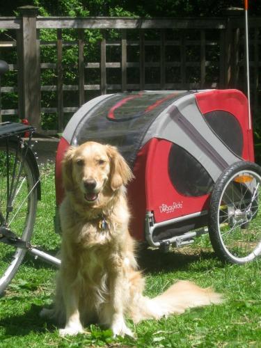 Honey the golden retriever with bike cart.