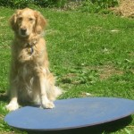 Honey the golden retriever with wobble board.