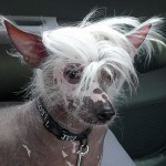 Sammy is a Chinese crested hairless dog.