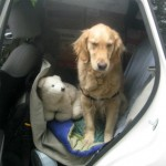 Honey the golden retriever isn't happy in the packed car.