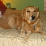 Honey the golden retriever sits on a bed with her Nylabone.