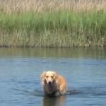 Honey the golden retriever wades in the marsh.