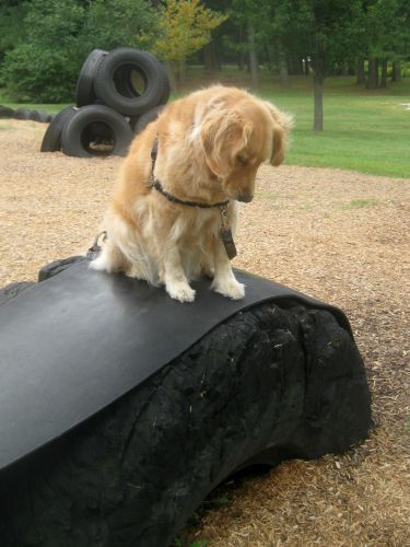 Honey the golden retriever is unsure on the tire.