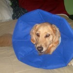 Honey the golden retriever looks like a flower in her blue cone.