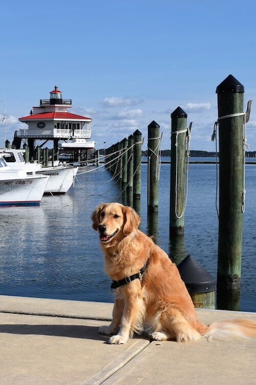 Honey the boat dog trying not to get lost at Cambridge marina.