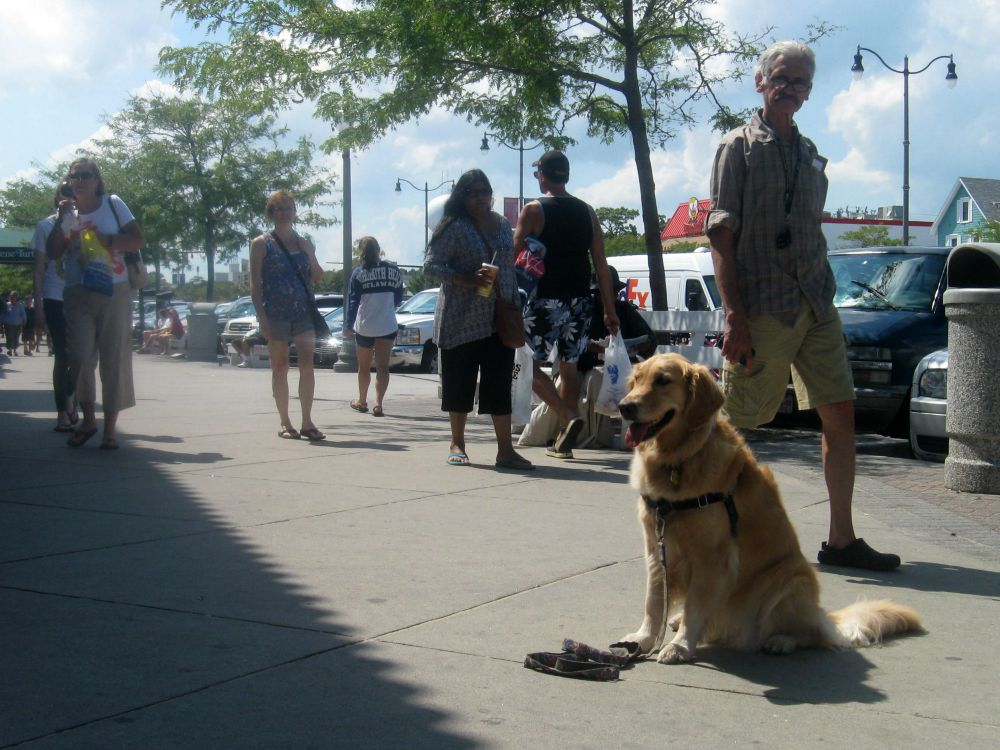 Honey the golden retriever sits and stays on a crowded sidewalk.