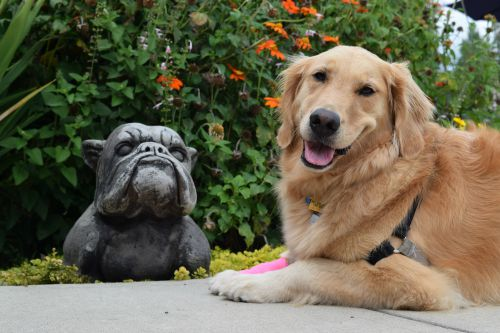 Honey the golden retriever poses with stone bull dog.