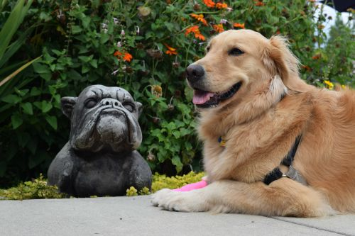 Honey the golden retriever is bored with the stone bull dog.
