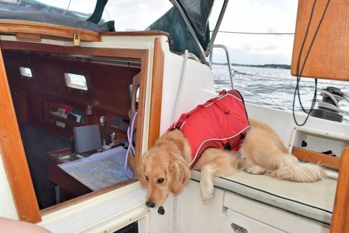 Honey the golden retriever dozes in her life jacket on the sailboat.