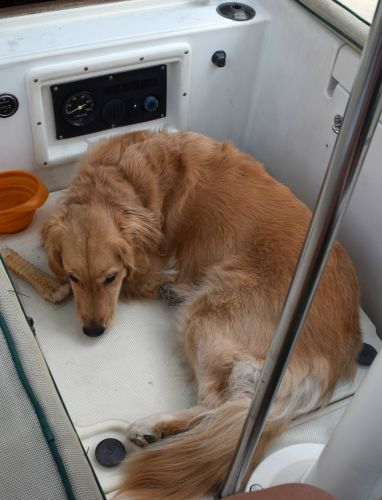 Honey the golden retriever naps in the cockpit of Meander.