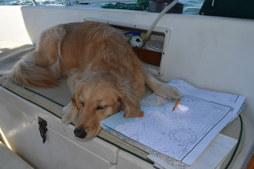 Honey the golden retriever holds the chart down with her paw.