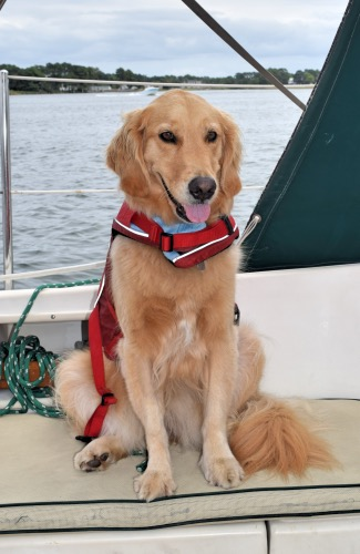 Honey the golden retriever on the sailboat in her life jacket.