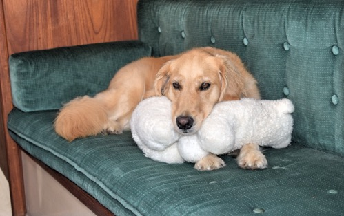 Honey the golden retriever and her bear aboard the boat.