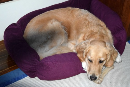 Honey the golden retriever with bed and bone.