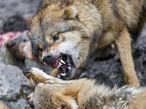 Wolves fighting over food.