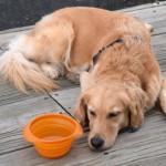 Honey the golden retriever at the dock.