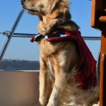 Honey the golden retriever in the wind on the sailboat.