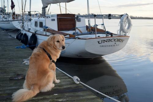 Honey the golden retriever finds a sailboat named unicorn.
